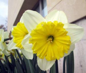 narcisos_botanico_albacete