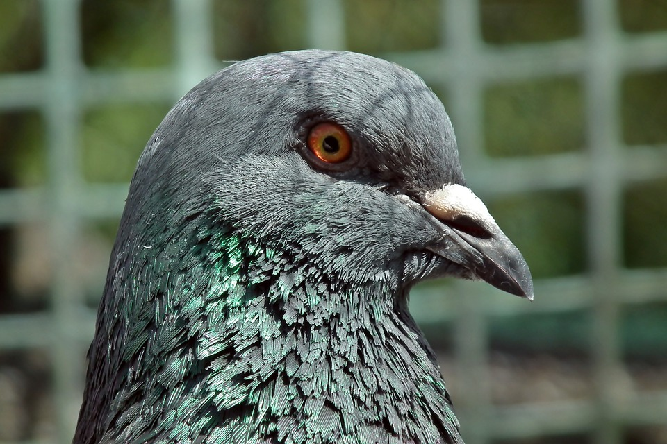 Plaga de palomas, un problema para la salud.